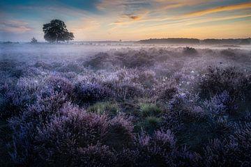 Paarse heide met mist in Hilversum van Roy Poots