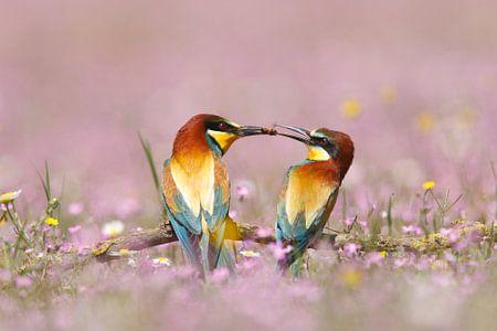 Bijeneter (Merops apiaster) mannetje geeft een bij aan vrouwtje