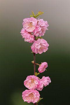 Mandelblüten von Dirk Rüter