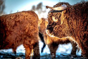 Schotse Hooglanders 1 van Jeanien de Gast