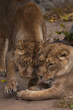 zwei Katzen Mädchen Freundin.löwenloses Weibchen ist eine große räuberische starke und schöne afrika von Michael Semenov