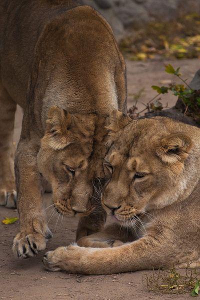 twee kattenmeisjes vriendin. Leeuwinnetje is een grote roofzuchtige sterke en mooie Afrikaanse kat. van Michael Semenov