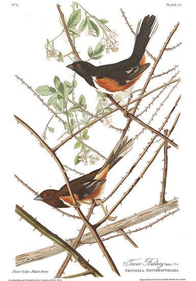 Roodflanktowie van Birds of America