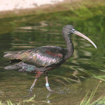Zwarte ibis van Rob Hendriks