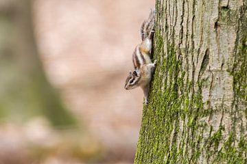 Siberische grondeekhoorn op boom van Paul Weekers Fotografie