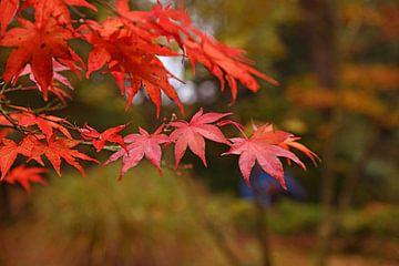 Feuilles rouges en gros plan dans les arbres, automne, forêt sur Nfocus Holland