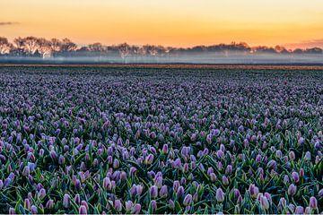 Holländische Tulpen.