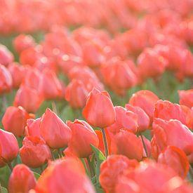 Tulpen, Lisse van Johan van Venrooy
