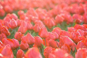 Tulpen, Lisse van