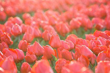 Tulpen, Lisse sur Johan van Venrooy