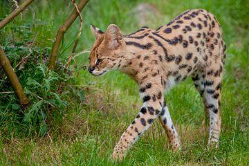 Serval : Tierpark Blijdorp von Loek Lobel