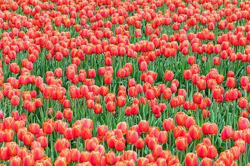 Rood tulpen veld van Patrick Verhoef