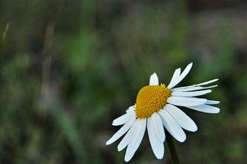 Schönes Gänseblümchen auf dem Feld. von Maarten de Jong
