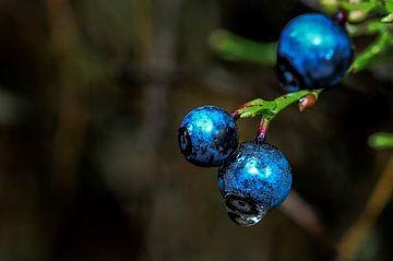 Blaue Beeren von Marcel Pietersen