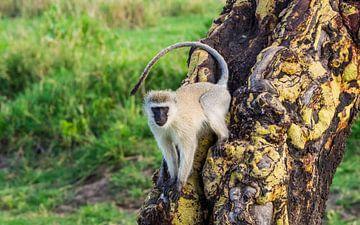 Vervet aapje op gele Acacia van Stijn Cleynhens