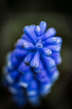 Zachtblauwe druifjes van Jan van der Knaap