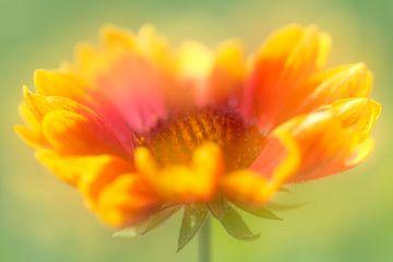 Fröhliche Kokarden Blume in leuchtenden Sommerfarben von Lisette Rijkers