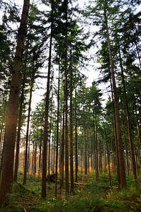 Namiddag in bos van