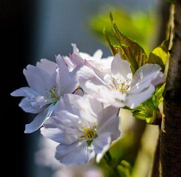 Close-up Japanse kers van Joke Beers-Blom