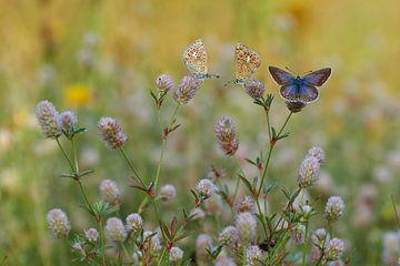 icarusblauwtjes warmen op van