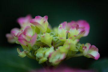 hortensia en fleurs sur