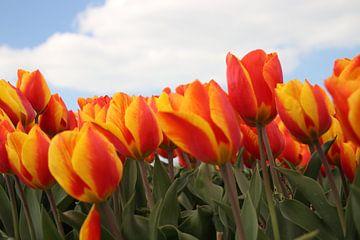 Tulipes rouges jaunes dans le domaine à Goeree Overflakkee