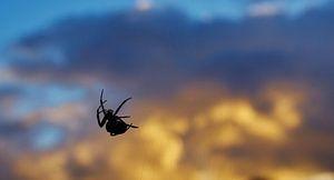 Spin bij zonsondergang