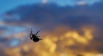 Spin bij zonsondergang van Wijnand Kroes