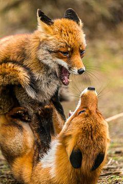 Strijd Vulpes vulpes de Vos van Rob Smit