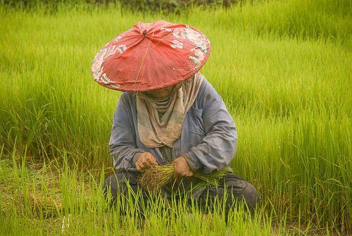 Rijstoogst van