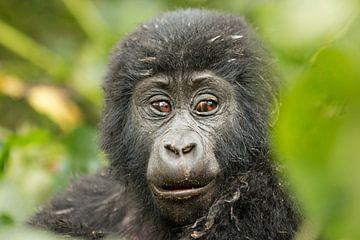 Neugieriges Gorilla-Baby van Britta Kärcher