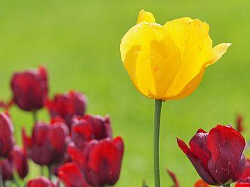 Gele tulp in rood van Katrin May