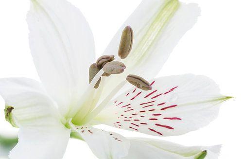 Alstroemeria/Incalelie van Tanja van Beuningen