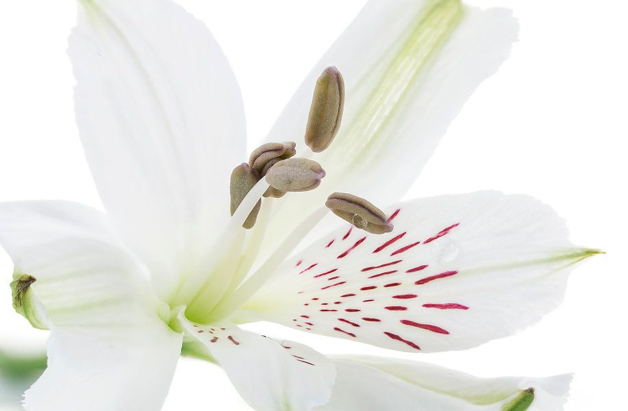 Alstroemeria/Incalelie