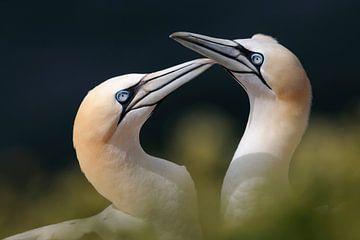 Northern Gannets (Morus bassanus) van wunderbare Erde