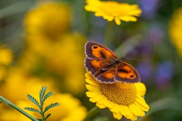 Oranger Schmetterling auf einer gelben Kamillenblüte