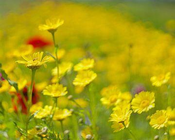Blumenfeld, gelb von Ronald Pit