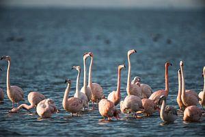 Flamingo's aan 't Grevelingenmeer. van