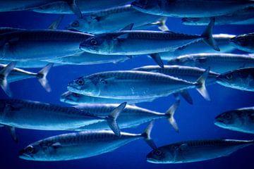 Vissen van Kevin Vervoort