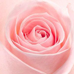 Roze roos closeup van