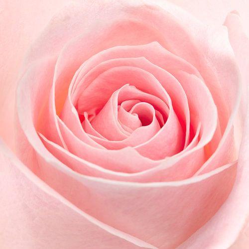 Roze roos closeup