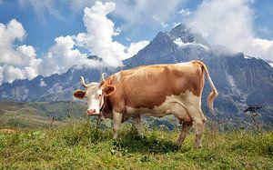 Prachtige koe in de Zwitserse Alpen van