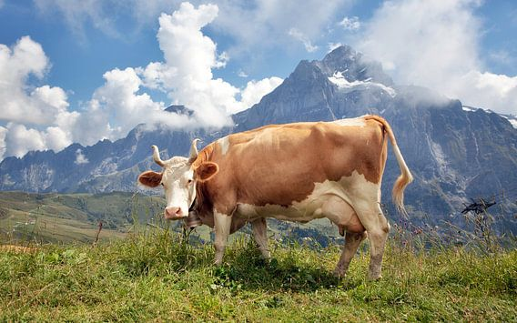 Prachtige koe in de Zwitserse Alpen