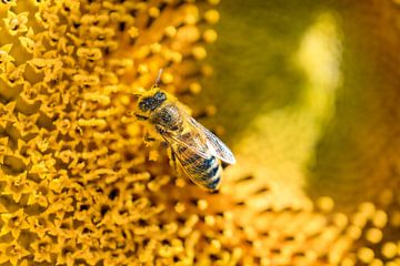 Honingbee -1 van Mi Vidas Fotodesing