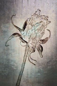 Cosmea - Cosmos bipinnatus van Christophe Fruyt