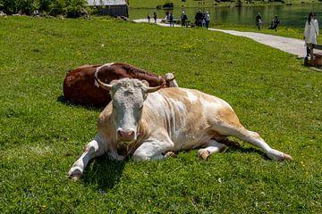 Alpen cows at Königssee in Berchtesgadener Land van