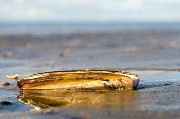 schelp op het strand van Annelies Cranendonk