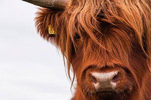 Portret Schotse Hooglander 2 van