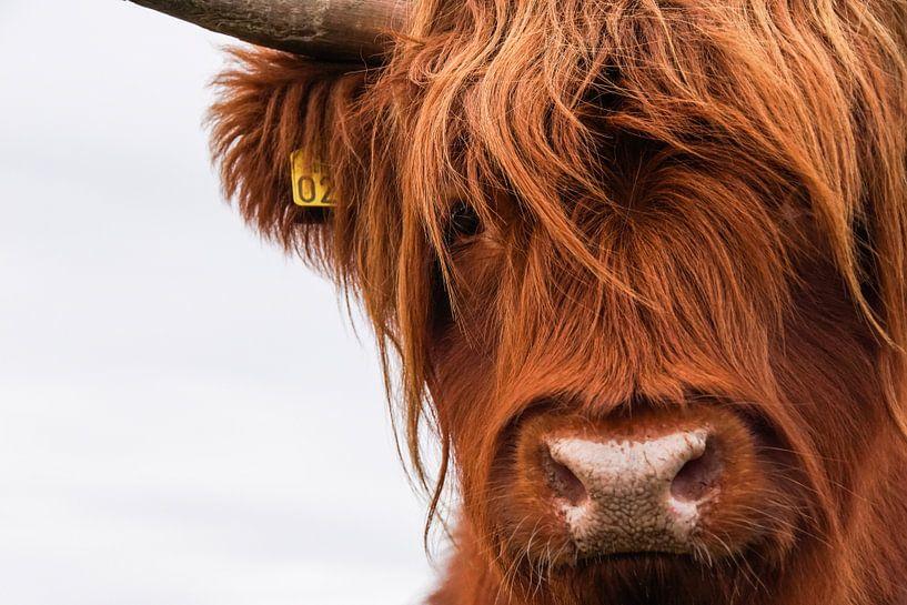 Portret Schotse Hooglander 2 van Sandra van Kampen