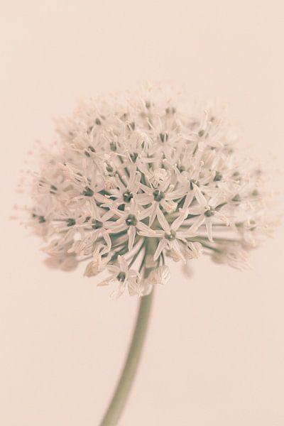 Allium Soft White van Aminda